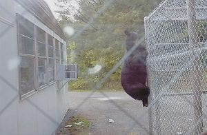 STUDENT BEAR? -  William King, custodian at Arlie Boggs Elementary School at Eolia, took this photograph of a bear climbing a fence beside the school on August 24 at 6 p.m. Workers put the fence up around two Dumpsters in hope of keeping the bears away. (Photo by William King)