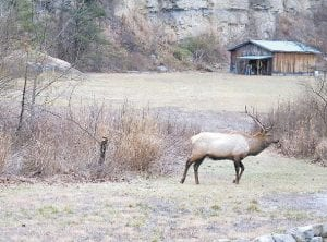 VISIT FROM AN ELK -  This large elk bull was one of two photographed while visiting the yard of a home on Cram Creek at Mayking, near Pine Mountain. (Photo by Becky Johnson)