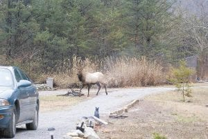 SURPRISE VISITOR -  A large bull elk was photographed visiting a home on Cram Creek at Mayking earlier this month. (Photo by Becky Johnson)