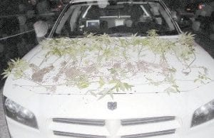 Pictured are some of the marijuana plants sheriff's deputies and state police found growing at Pratt's Branch.