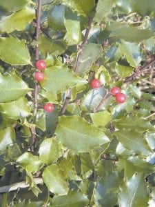 A female holly plant is seen in this photo. (AP Photo/ Lois Barber)
