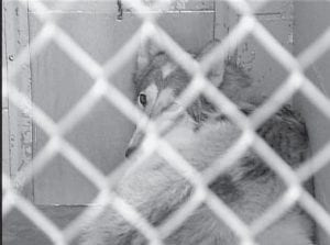 In this image from video provided by WKYT-TV in Lexington, Dakota, a 4-year-old Native American Indian dog, a breed that looks similar to a husky, is shown in her cage after she was taken into custody by animal control. The dog carried 4-day-old Alexander James Smith from his crib to the family's heavily wooded backyard in Nicholasville on Monday, critically injuring the infant. (AP Photo)