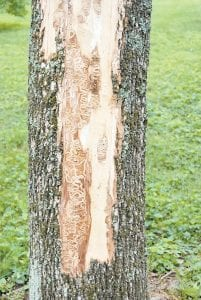 This photo shows winding tunnels beneath tree bark which are caused by the worm-like larval stages of the emerald ash borer, heavily damaging the ash tree. (Photo by Lee Townsend)