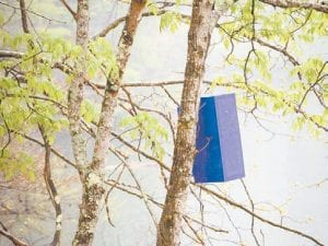 """A two-foot long """"purple prism"""" is seen hanging in an ash tree at Fishpond Lake. The devices are used to attract emerald ash borers. (Photo by Sally Barto)"""
