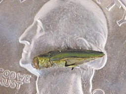 An adult emerald ash borer is pictured on a quarter to show the size of the insect. (Photo by Lee Townsend)