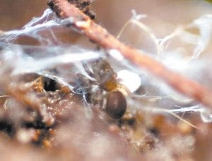 A spruce-fir moss spider is shown in the Great Smoky Mountains National Park.