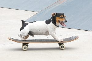SKATE DOG — Jack, a three-year-old Jack Russell terrier, was a fan favorite at the Letcher County Skate Off and BMX Competition at the Letcher County Skate Park in Whitesburg on July 31. Jack learned how to skateboard after watching two brothers, Michael and Christopher Ingram, skateboard at their Linefork home and at several diff erent skate parks. Michael Ingram, 16, won first place in the senior division of the skateboard competition. Two video clips of Jack skateboarding on July 31 can be viewed for free on a video gallery at www.themountaineagle.com.