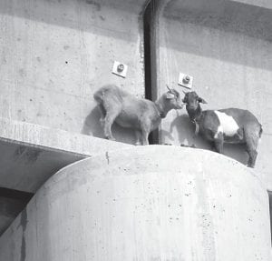 In this photo taken Sept. 1, two goats, center right, are stranded on the ledge of a railroad bridge south of Roundup, Mont. The goats were rescued after nearly two days and are in good condition. The rescue was similar to one in Letcher County in 2009. (AP Photo/Courtesy of Sandy Church of the Rimrock Humane Society)