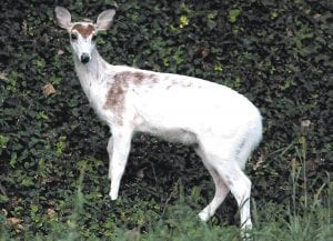 UNUSUAL DEER — A nearly all white, white tail deer was seen feeding along a roadway Tuesday in Maysville, Ky. (AP Photo/The Ledger Independent, Terry Prather)