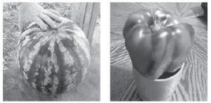 THIS 32-POUND WATERMELON and huge bell pepper were grown by Johnny Curry.