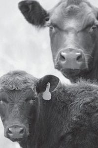 A cow/calf pair were photographed recently in Rock County, Neb. (AP Photo)