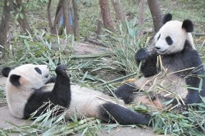 Two pandas relaxed while eating bamboo. (Photo by Connie Hall Fields)