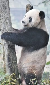 Pandas are an endangered species native to central-western and southwestern China. They are easily identifiable by their black patches around their eyes. (Photo by Connie Hall Fields)