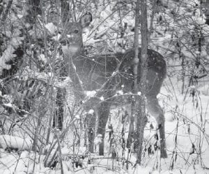 An antlerless white tail deer blended in with the brush and snowfall in the woods in Zelienople, Pa. ( AP Photo)