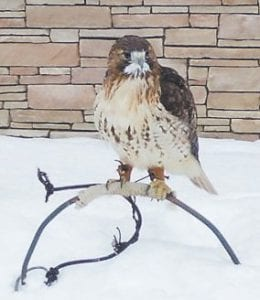 NAME THAT BIRD — The Letcher County Extension Office needs help naming this female red-tailed hawk which was found injured in Sandlick last month. The tip of her right wing was amputated and she will spend the rest of her life being cared for by Mitch Whitaker, a master falconer and licensed rehabber, who works at the Extension office.