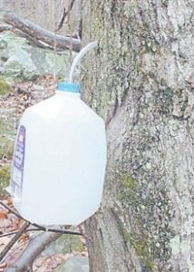 COLLECTING SAP — Sap from a sugar maple tree is collected in one-gallon water jugs. It will take all day to boil 20 gallons of sap to make one-half gallon of syrup.