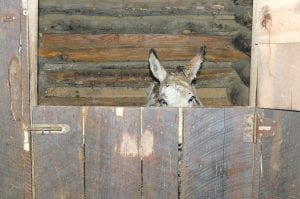 The miniature donkey pictured above disrupted traffic along the Whitesburg Bypass twice on Monday before officials with the Letcher County Sheriff 's Department caught the jack and brought him to a barn for safekeeping. The owner of the jack has ten days to claim the animal before he is given away.