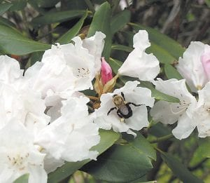 A large bee worked over the blooms on a rhododendron in Letcher County on Tuesday, where temperatures reached into the 80's. (Eagle photo)