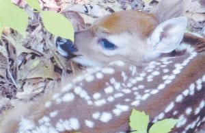Linda Yonts of McRoberts took this photo of a fawn hiding behind greenery near the all-terrain vehicle (ATV) trail at Fishpond Lake near Payne Gap on May 30.