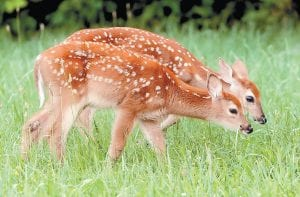 DOUBLE VISION — Twin fawns fed in a grassy meadow near Maysville, Ky., on Monday. (AP Photo/The Ledger Independent, Terry Prather)
