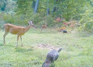 A doe and her fawn were joined by two wild turkeys last week while grazing at Webb Branch of Bottom Fork near Kona. This photograph was taken with a trail camera set up on the site by Elijah Johnson of Jenkins. The camera's shutter is triggered automatically when animals are present.