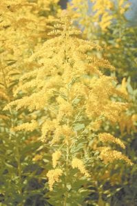 Goldenrod, which has many uses, naturally contains rubber and is edible, was in full bloom in Letcher County this week. Goldenrod is also Kentucky's official state flower. (Photo by Sally Barto)