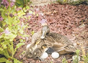 — A mallard guarded the eggs in her nest while tending to two newly hatched ducklings Monday on the Whitesburg campus of Southeast Community and Technical College. (Photo by Mitch Caudill)