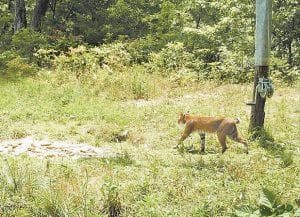 This large cat photographed in July 2010 with a trail camera near Bottom Fork, between Jenkins and Mayking, could possibly be mistaken for a cougar if not for the presence of a short tail common to bobcats. (Photo by Lige Johnson)