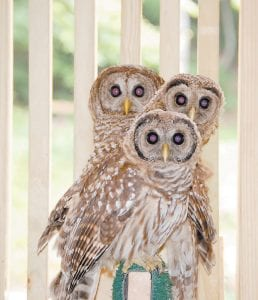 Two young barred owls believed to be about a month old rested on a perch with an older barred owl in a stall of the Letcher County Extension Outdoor Education Center on June 19. The owl pictured in the front was found in a road at Sergent about four weeks ago. The owl pictured in the middle was found in Bottom Fork two weeks ago. An older barred owl pictured in the back was found about five weeks ago trapped in a garage in Dry Fork. Mitch Whitaker, who oversees the 4-H raptor rehabilitation program at the extension office, said the owls are healthy and could be released soon back into the wild. (Photo by Sally Barto)