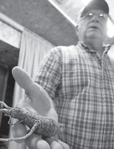 Don Dobbs, owner of Buckhorn Ginseng, holds a wild ginseng root on in Richland Center, Wis. The root can be worth as much as $600 a pound. (AP Photo)