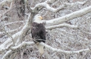 This beautiful bald eagle was spotted at Carr Creek Lake in neighboring Knott County on February 3 and photographed by Carla Smith, an employee in the office of Letcher County Court Clerk Winston Meade.