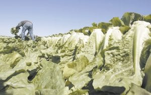 A worker was photographed harvesting romaine lettuce in Salinas, Calif. Leafy green vegetables were the leading source of food poisoning over an 11-year period, federal health officials say. However, the most food-related deaths were from contaminated chicken and other poultry, the study says. (AP Photo)