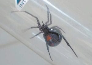 Lisa Bentley snapped this photo a few days ago and sent it to The Eagle to remind Letcher Countians that black widow spiders are found in Letcher County. While the female northern black widow pictured here can be very poisonous to some people, its venom affects most people only slightly. The only other poisonous spider native to Kentucky is the much more dangerous brown recluse, but it is rarely, if ever, seen in the mountains of Letcher, Harlan and Pike counties. (Photo courtesy Lisa Bentley)