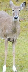 This doe with unusual markings on its front legs was photographed Sunday afternoon in Berea. While its front legs appeared to have white socks on them, its hind legs and hooves were the same color as the rest of its body. (Photo by Tom Miller)