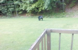Saundra Hall of Forest Hill Lane, Jenkins, was out mowing grass on June 8 when this bear came out of the mountains at 7:30 p.m. It was still daylight. She turned around and saw the bear when it was only about two feet from her. When it stood up it was about six feet tall. Mrs. Hall reported the bear to her neighbor, Fleming-Neon Police Chief Mike Dingus, who eventually had to shoot rubber bullets at the animal to get it to leave. This photo was taken by Mrs. Hall's husband, Wilburn Jimmy Hall. The couple's son, James Hall, said he is 43 years old and had never seen a bear in Jenkins before. The younger Hall says Chief Dingus deserves praise for answering his mother's call for help.