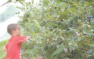 Six-year-old Blake Robinson Jr. picks blueberries from a thriving crop of 25 bushes near the Letcher County Extension Office in Whitesburg. He is a son of Patty Fields and Blake Robinson of Seymour, Ind. Blake and his siblings Olivia and Briar Wayne Robinson spent last week visiting his grandparents, Jerry and Nell Fields of Big Cowan. (Photo by Sally Barto)