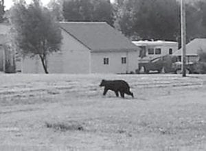 Kristie McKinnis and her family were getting ready for church when her son went out on the front porch and saw a black bear in the front yard. They live on the Logan/ Simpson County line, three miles outside Auburn.