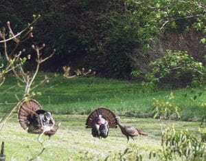 Two gobblers were displaying their feathers earlier this week while trying to attract the attention of two hens that were in their presence but appeared to pay little attention to them. Spring wild turkey hunting season began in Kentucky on April 18 and ends May 10. (Eagle Photo)