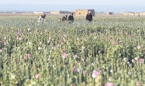 A team led by researchers at the University of California, Berkeley has identified the steps to make morphine and other painkillers in the laboratory without needing to grow opium poppies like these being harvested in Afghanistan last month. While homemade morphine is not yet a reality, researchers are calling for regulations. (AP Photo)