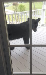 """Katie Cornett of Solomon Creek, Whitesburg, looked outside her window last Thursday afternoon to see this black bear looking back at her. Cornett said the bear had been getting into her trash at night but that she hadn't seen it during daylight. Cornett alertly snapped three photographs of the unwelcome visitor before it scampered away. """"I never thought it would come out in broad daylight,"""" she said. (Photo by Katie Cornett)"""