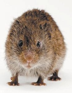 If you have any ideas on how to rid a lawn or garden of voles, columnist Ike Adams wants to hear it. His contact information appears below. (Smithsonian Photo)