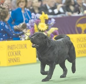 A labrador retriever pointer is shown in the ring during the sporting group competition at the 140th Westminster Kennel Club dog show last week at Madison Square Garden in New York. (AP Photo)