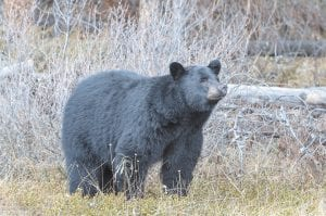 Black bears will be coming out of hibernation in Letcher County and looking for food at any time now.
