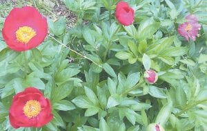 Peonies are blooming in Letcher County this week.