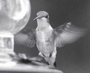 A Ruby-throated hummingbird approaches a feeder. (AP photo)