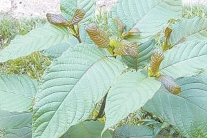 Kratom, pictured above, is a tree found in Southeast Asia and is in the same family as the coffee tree. The tree's leaves have been used in herbal remedies for centuries.