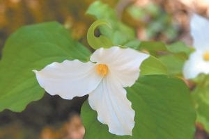 — The unique bloom of trillium dotting Letcher County hillsides is a sure sign that spring is well underway. The wildflower, a member of the lily family, is native to parts of North America and Asia. (Photo by Thomas Biggs)