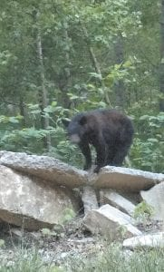 — Terry Back Jr. snapped this photo of a black bear atop Dunham Hill, between Jenkins and McRoberts. Back is a grandson of Lydia Back of McRoberts, a longtime employee at the Whitesburg Walmart.