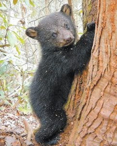 A bear cub makes his mark on a tree on Pine Mountain in Letcher County. Mother bears have two to three cubs a year, on average, but at least one had four this winter. Biologists have seen as many as five in a litter. (Photo by Sean Murphy, University of Kentucky)