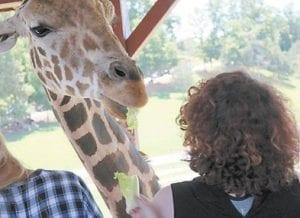 Drew Eden Hampton feeds a giraffe.
